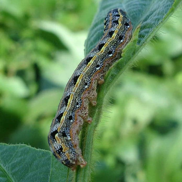 gE Blog Series: Agriculture Industry Part 2 - Armyworm in South Africa