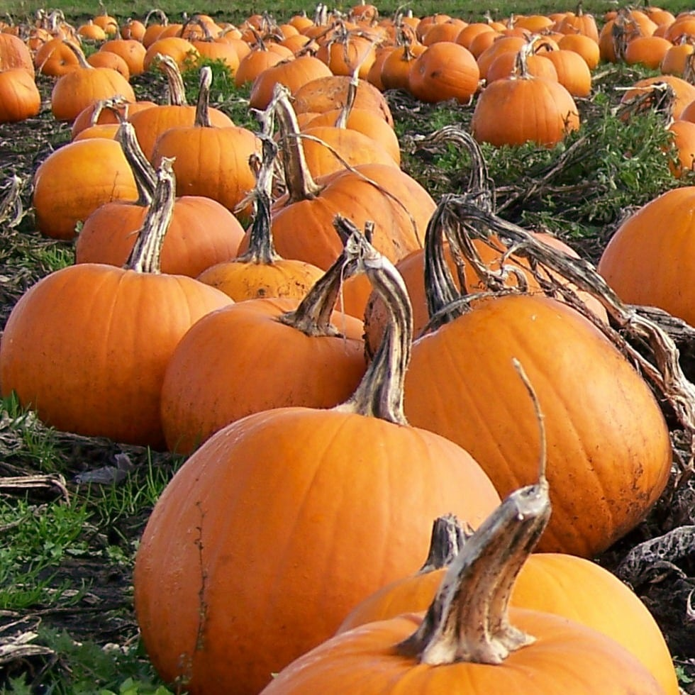 As One of Fall's Most Prominent Symbols, Pumpkins Continue to Grow in Sales and Production Image